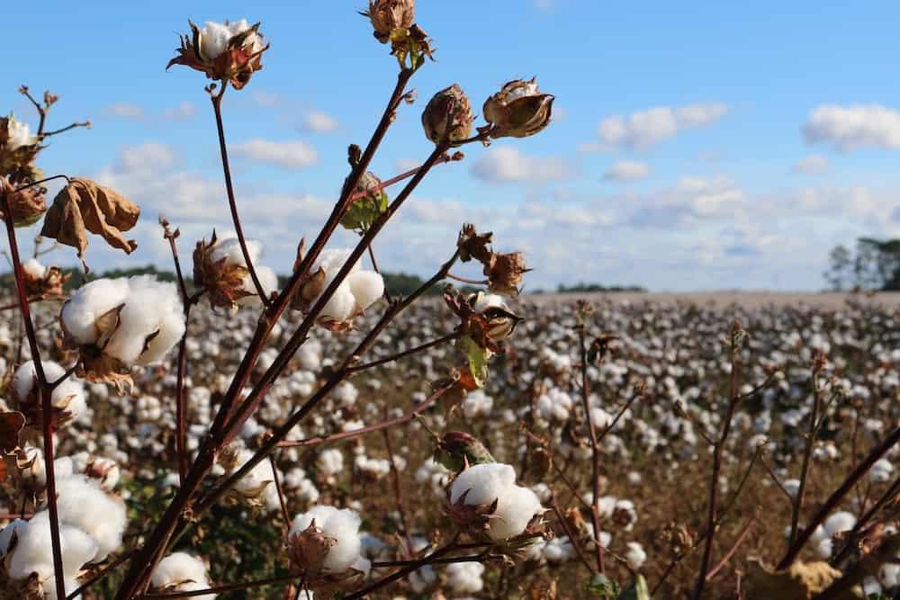 Champ de coton biologique pour la production de t-shirts éthique